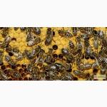 Пчелопакеты 2018 Тюмень. Бесплатная доставка по России