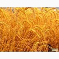 Отруби, зерновые