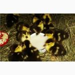 Мускусные утки (Индоутки)