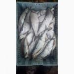 Рыба с/м плотва синец густера чехонь лещ судак