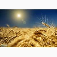 Продам пшеницу 5-го класса, экспорт, объем 35000 тонн