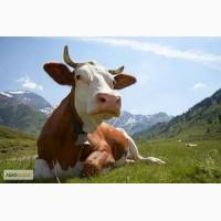 Куплю КРС, коровы тощие лежащие, вынужденное мясо, бугаи