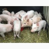 Поросята-мясопроизводители