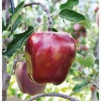 Яблоки сорта Богатырь, Сенап, Кутузовец в продаже