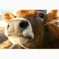 Мясо молодых бычков
