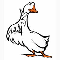 Продам суточный молодняк гуся