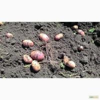 Фермерское хозяйство реализует картофель свежий урожай оптом