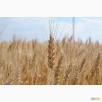 Семена озимой пшеницы Таня, Табор, Уруп, Стан, Юка, Юмпа
