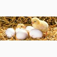 Яйцо инкубационное оптом и в розницу