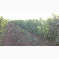 Виноград технических сортов для домашнего виноделия