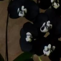 Орхидеи чёрные, детки, взрослые растения