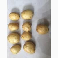 Картофель отличного качества с чернозёмных полей