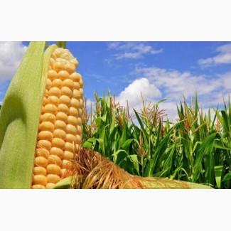 Семена кукурузы Канадский трансгенный гибрид SEDONA BT 166 ФАО 180