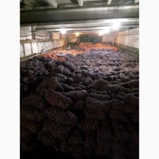 КФХ реализует картофель оптом