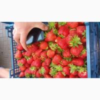 Клубника оптом от фермера из Беларуси