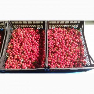 Продажа вишни сорт Дебрецени