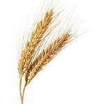 Повышение урожайности зерновых