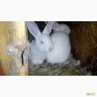 Крольчата на откорм