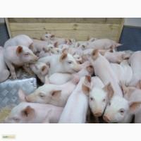 Любители грязи. поросята свиньи