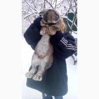 Продам мясо кролика гиганта