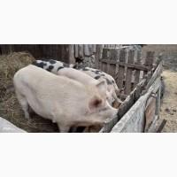 Хряк ландрас, 1.4года, вес 250кг быстро растущая порода, активен, добродушен, спокоен