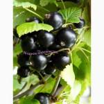 Саженцы чёрной смородины, сорт «Ядрёная»