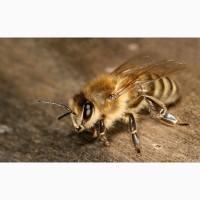 Пчелопакеты Карпатка-Карника Омск