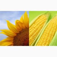 Закупаем подсолнечник и кукурузу (на производство)