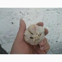 Чеснок 2 сорт на переработку-семена