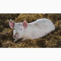 Срочно Фермерская свинина опт/живым весом
