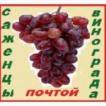 Высылаю -почтой во все города России 2- х летние саженцы винограда