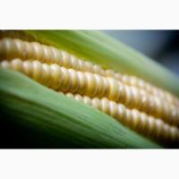 Семена кукурузы и подсолнечника, СЗР