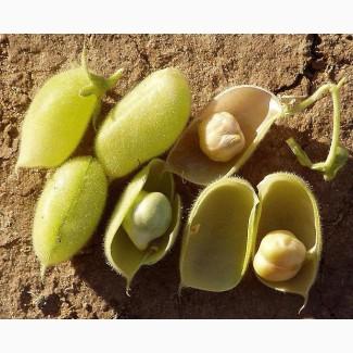 Семена нута Бонус