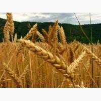 Семена пшеницы трансгенный сорт Канадская элита AMADEO