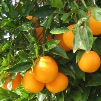 Апельсины Египет, свежие, выборочные, первый сорт