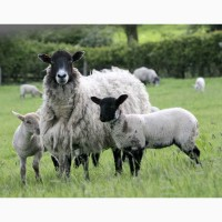 Продажа овец и ягнят