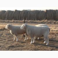 Овцы Иль-де-Франс - мясная порода