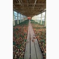 Продажа зеленого лука (перо)