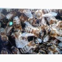 Пчеломатки Карпатка Карника Санкт-Петербург