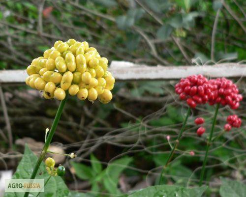 где можно купить семена женьшеня