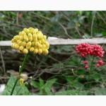 Семена женьшеня с ЖЕЛТЫМИ ягодами