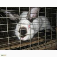 Кролики мясных пород на племя