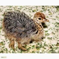 Продам страусят породы черный африканский страус