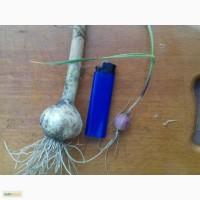 Семена чеснока воздушки и однозубки