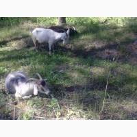 Продам коз, козлов, козлят молочной породы