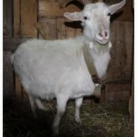 Коза рогатая с сережками)))