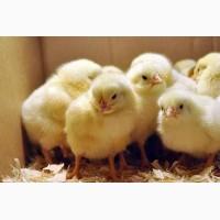 Суточные цыплята: яичных и бройлерных кроссов, куропаток, цесарок, перепелов