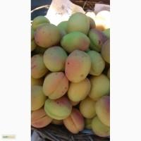 Продам армянский абрикос сорт шалах