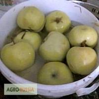 Яблоки оптом моченые 2016