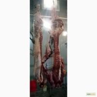 Мясо-говядина быки с откорма мясного направления Герефордская порода